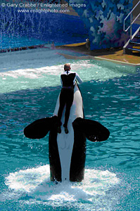killer whales essay